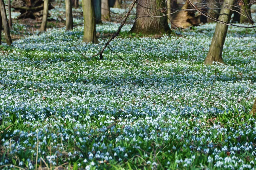 Sotva v Poodří sleze sníh, bělají se louky znovu - ovšem krásnými květy sněženek.