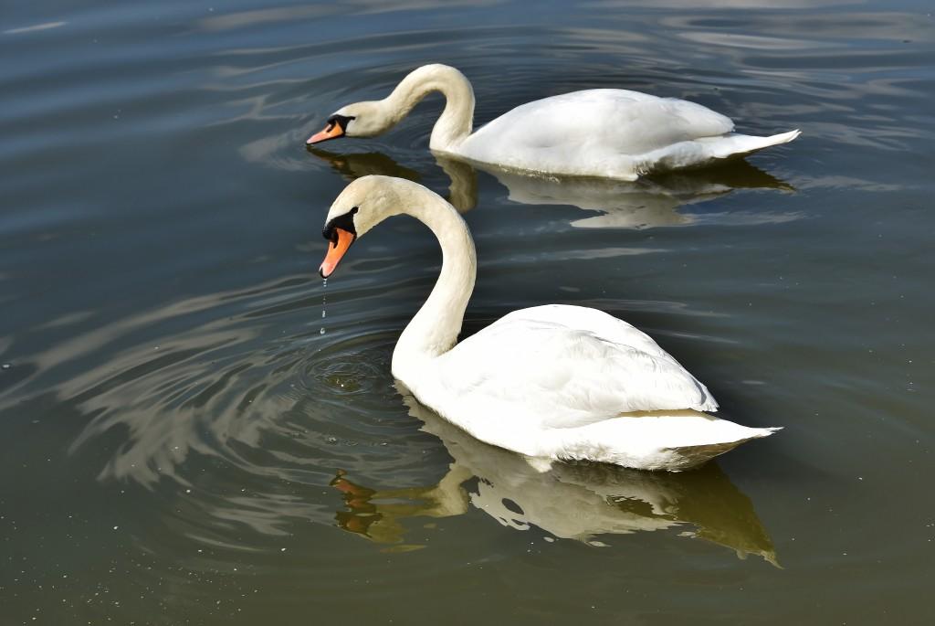 Labutě na rybníku u Jistebníku