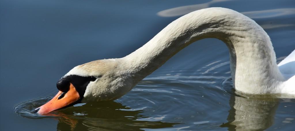 """Labutě jsou jednou z nejznámějších """"atrakcí"""". Zastavují se u nich pěší i cyklisté."""