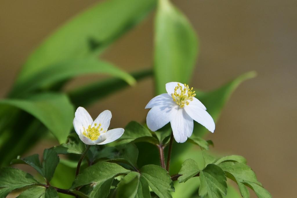 I sasanky kvetou v okolí Jistebnických rybníků