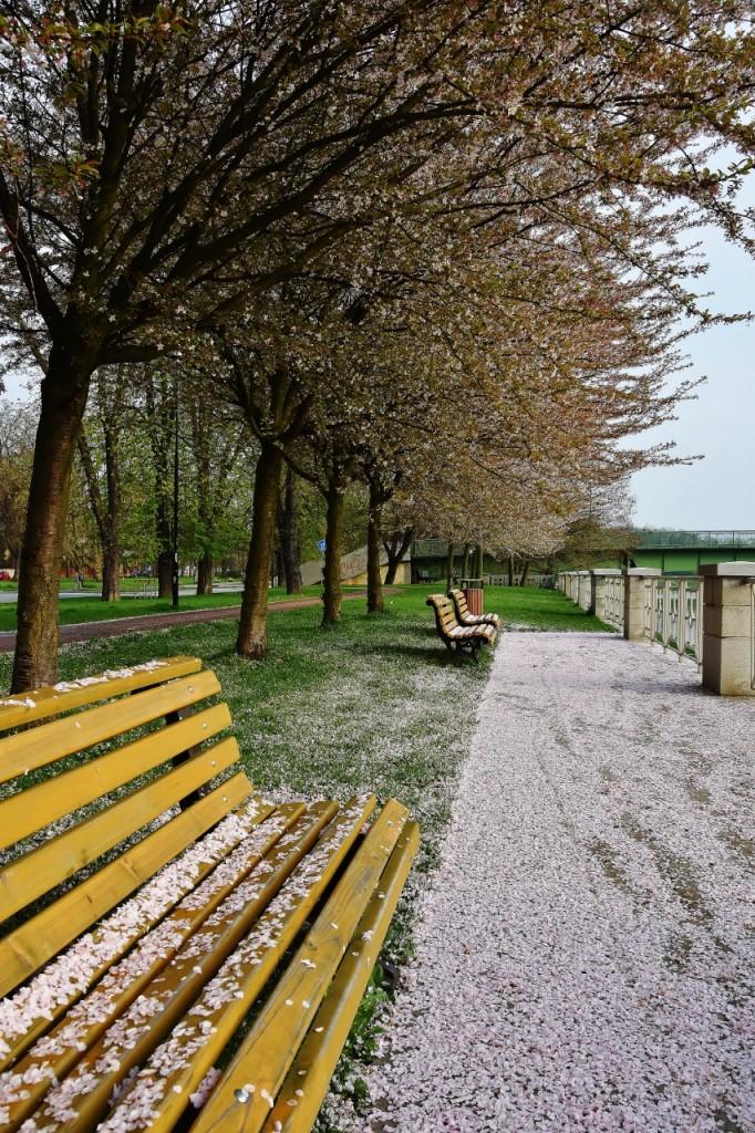 Komenského sady, když v nich sněží okvětní lístky sakur.
