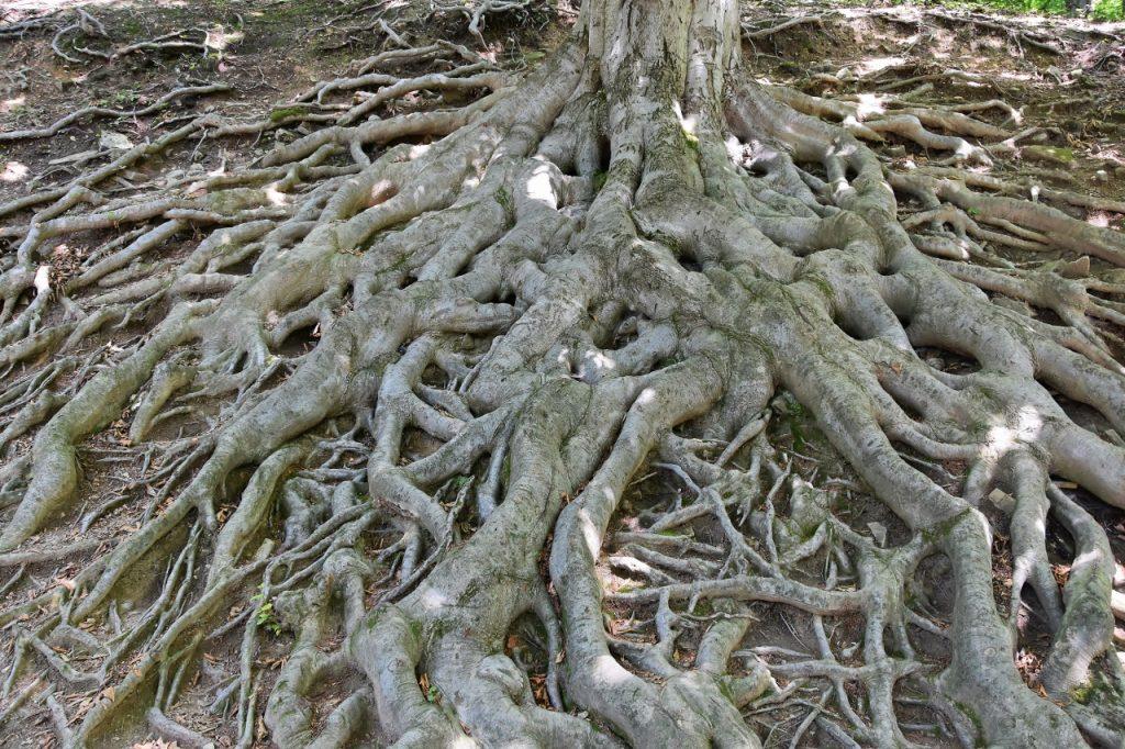Kořeny těchto buků jsou jedním z nejvíce fotografovaných objektů v oboře pod hukvaldským hradem.