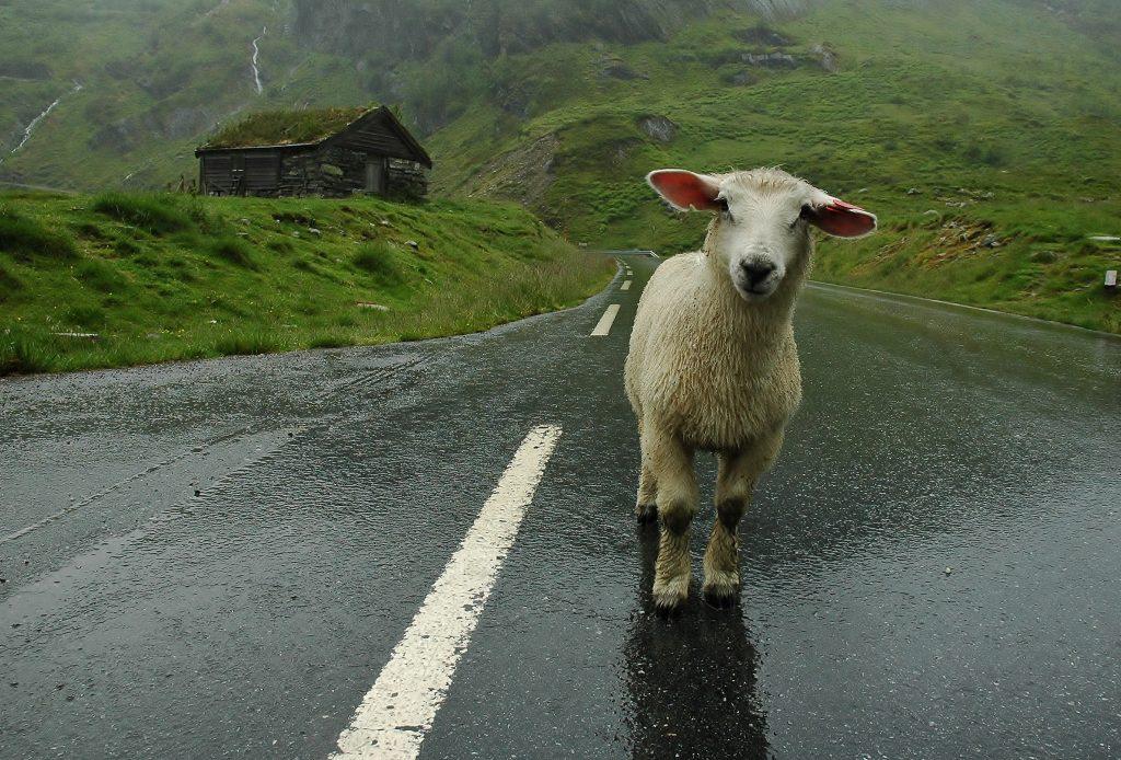 Abych vyfotil tuto ovečku a přitom zachytil i tu kulisu za ní, musel jsem si lehnout na ten mokrý asfalt. Ale tuto fotku mám rád, takže to stálo za to.