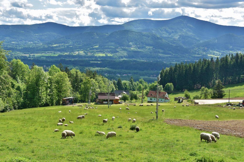 Ovečky pod Ondřejníkem se mohou kochat pohledy na Lysou horu. Ale asi je zajímá spíše, jaká je tráva.