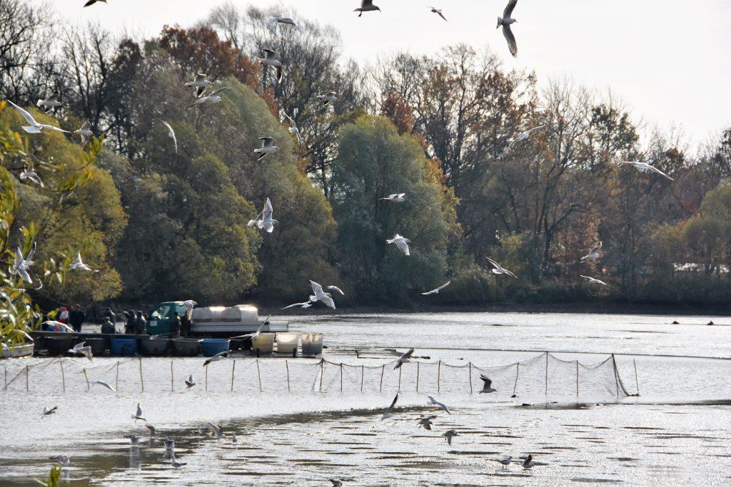 Nejen návštěvníci ze širokého okolí, ale též místní racci sledovali výlov rybníků v Bartošovicích.